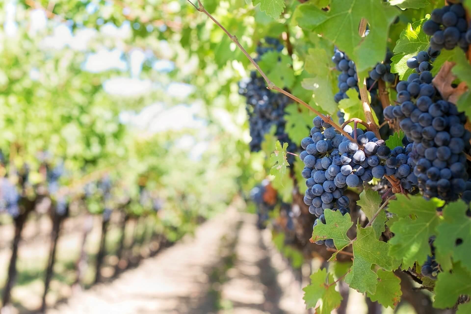 por qué hacer la ruta del vino Utiel - Requena